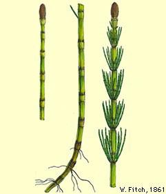 Holpijp (Equisetum fluviatile)