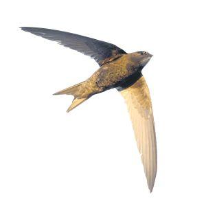 Gierzwaluw (Apus apus)