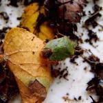 Groene schildwants (Palomena prasina)