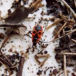 Vuurwants (Pyrrhocoris apterus)