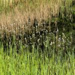 Waterviolier (Hottonia palustris) in bloei in de Natuurtuin                                      (Foto: Will van Berkel)