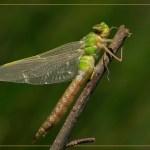 Pas-uitgeslopen-Grote-keizerlibel-vrouw