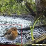 14 mei 2021: Roodborst, jong (Erithacus rubecula)