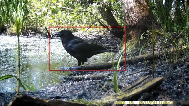 14 mei 2021: Zwarte kraai (Corvus corone)