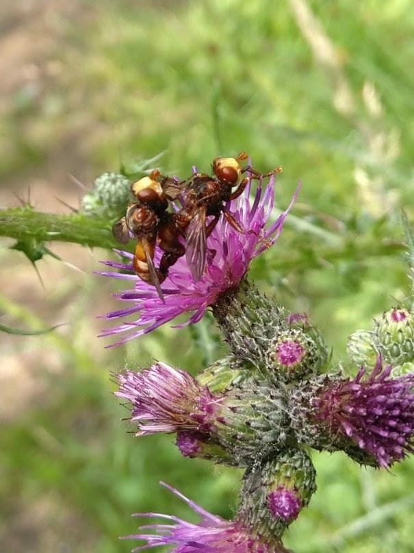Roest bruine kromlijf (Sicus ferrugineus)