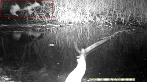 zwartwitte huiskat (Felis silvestris catus)