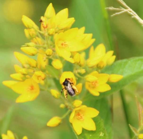 Slobkousbij (Macropis europaea)