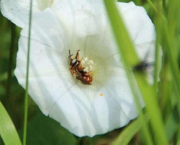 Bonte viltbij (Epeoloides coecutiens)