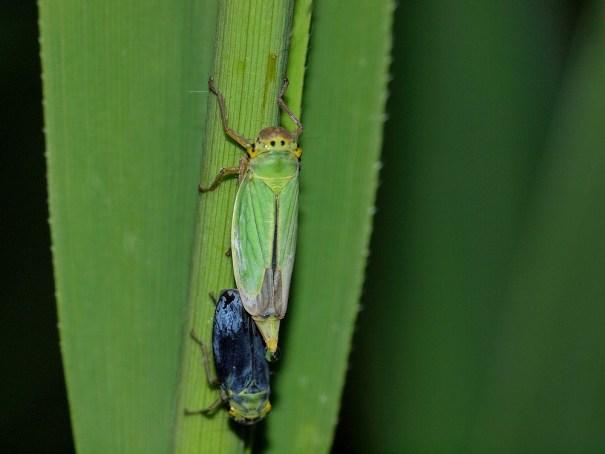 Groene rietcicade (Cicadella viridis)