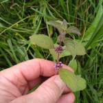 planten kijken: Akkermunt