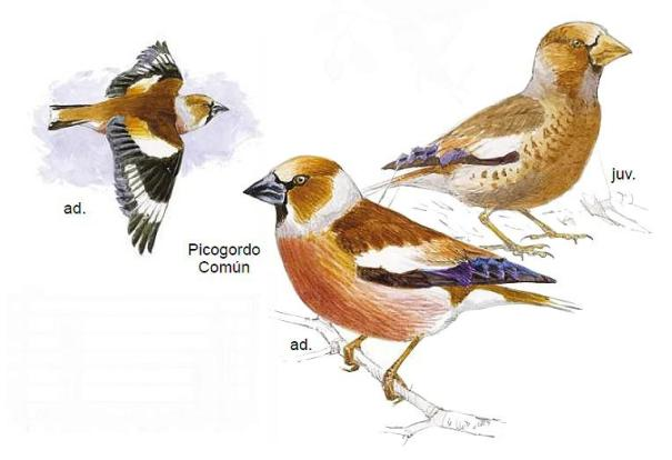 Appelvink (Coccothraustes coccothraustes)