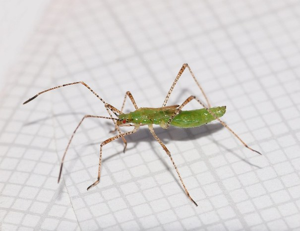 (juveniel/larve) (foto: Will van Berkel)