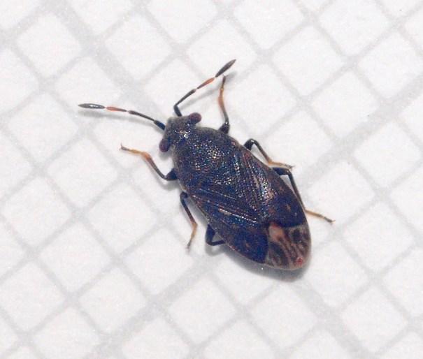 Doffe donsrug Stygnocoris fuligineus
