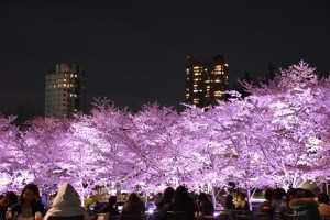 The peak of Sakura is early April in MidTOwn