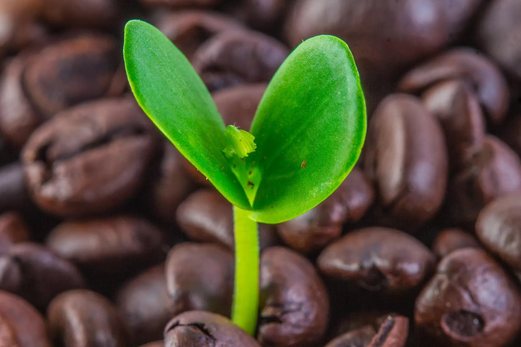 Fondi Caffè Giardino: Chicchi Caffè Piantina