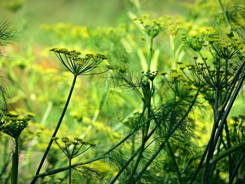 semi di anice