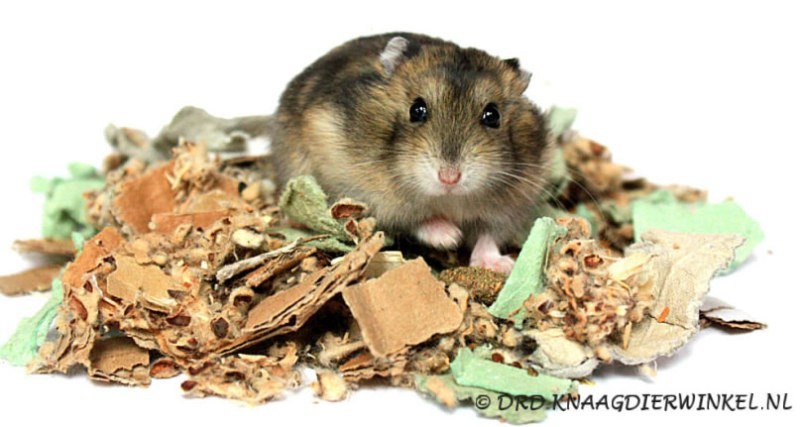 hamster in cotton n card