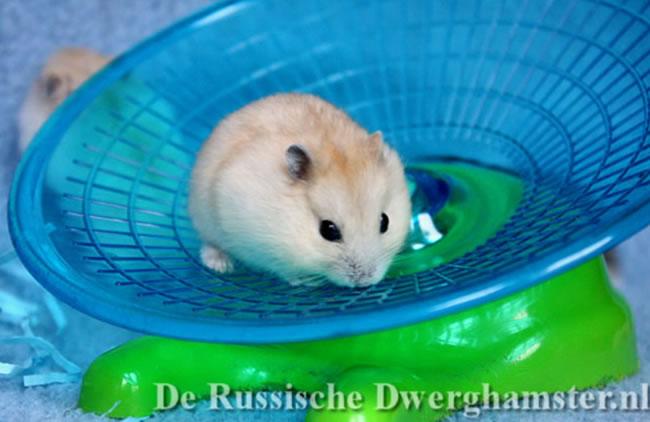 Russische Dwerghamster op de Trixie loopschijf