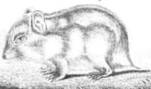 Oude tekening van een Russische Dwerghamster