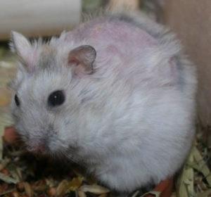 cushing dwerghamster hamster