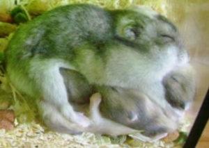Dwerghamster bevalling met jongen
