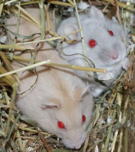 Merle lilac roodoog dwerghamster