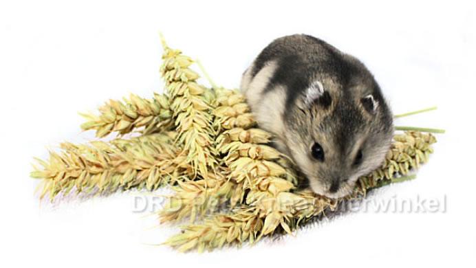 tarwe aren hamster, hamster snacks