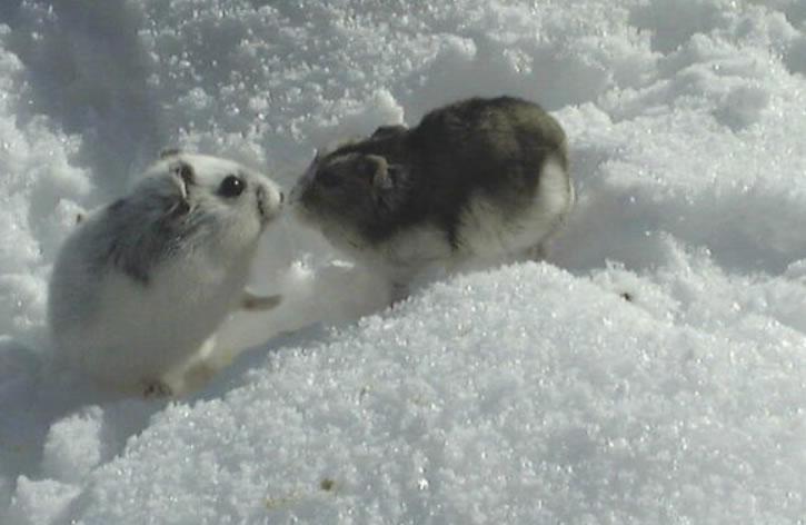 Russische Dwerghamster wildkleur in de sneeuw