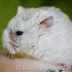 hamster verwonding oog ogen