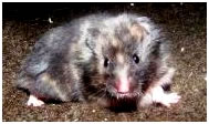 syrische hamster