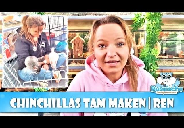 chinchillas tam maken in de konijnen ren