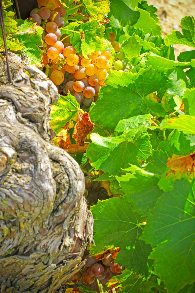 Automne, Corbières, Occitanie, Raisin blanc, Raisins, Saisons, South of france, Sud de France, Terroirs, Vigne, Vignes