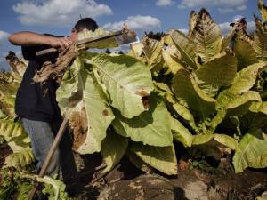 Niño: Trabajador plantación de tabaco
