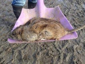 Ratzilla: Rata mutante