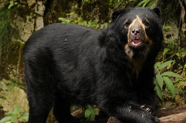 oso-frontino