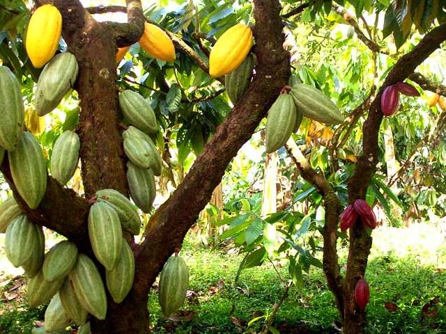 Resultado de imagen para Día Nacional del Cacao Venezolano, el mejor del mundo