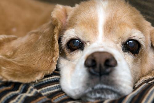 La humedad de la nariz de un perro no es un indicador fiable de su salud