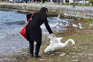 cisne muerto por un selfie 2