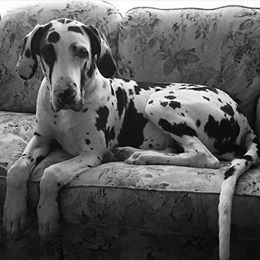 A black and white picture of a black and white day sitting primly on a floral couch.