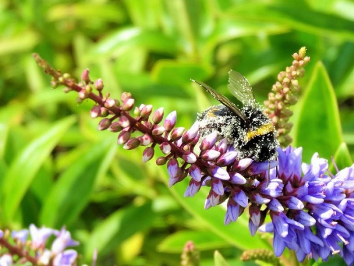 Bourdon maculé de pollen
