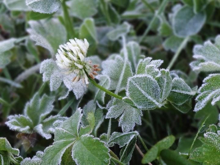 Fleurs de trèfles cristallisées
