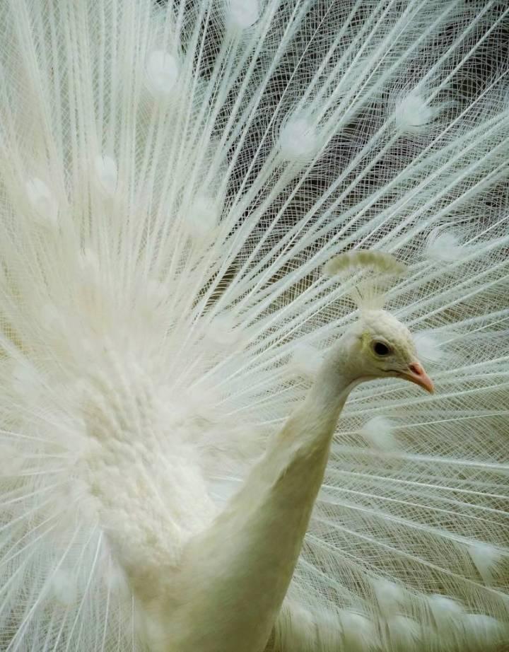 Paon blanc