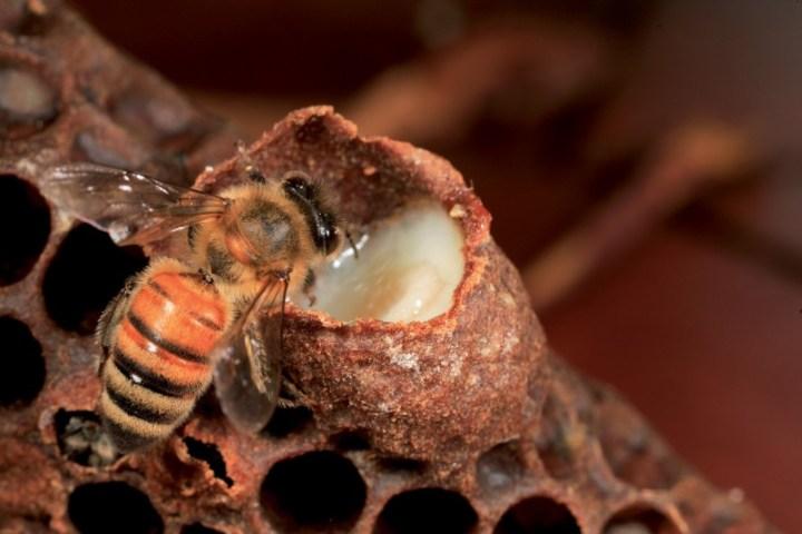 Les produits de la ruche: la gelée royale