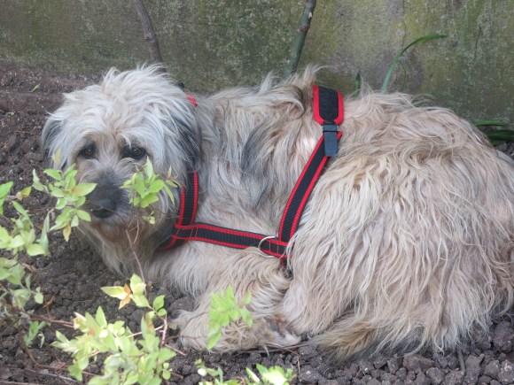 Puffy - chiens adoptés en 2014