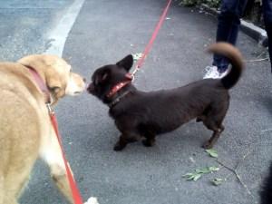 Obélix - chiens adoptés en 2013