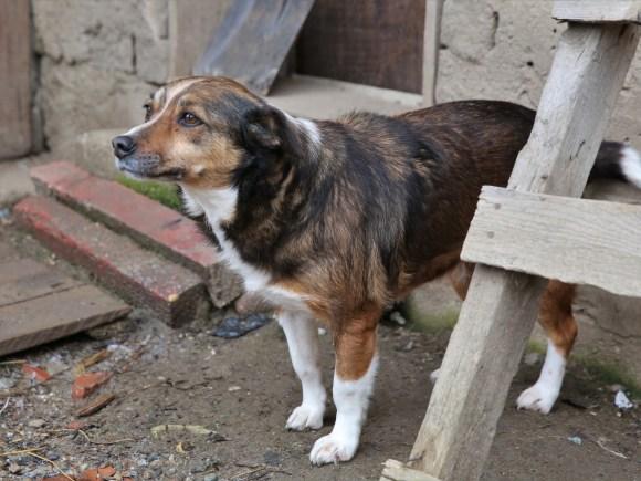 Rona - chiens adoptés en 2016