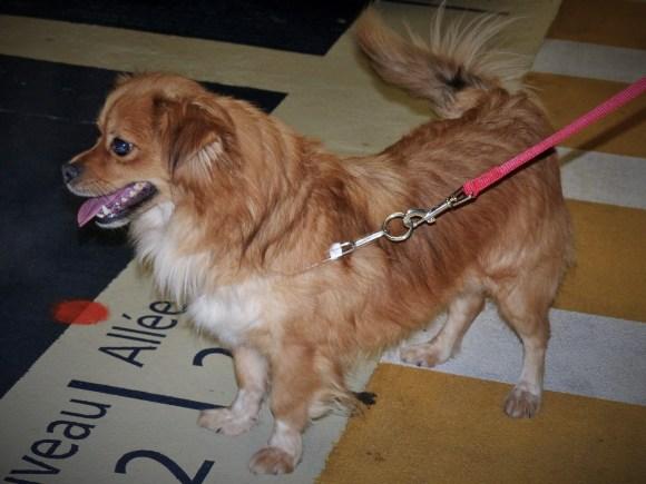 Tommy - chiens adoptés en 2016