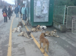 Des chiens communautaires de Bucarest