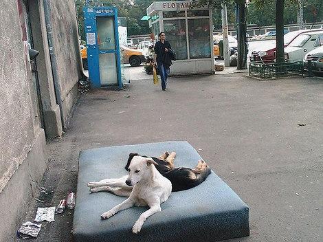 Chiens communautaires de Bucarest