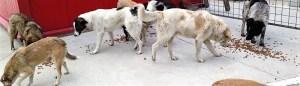 La meute d'Adina (mai 2015) - chiens communautaires